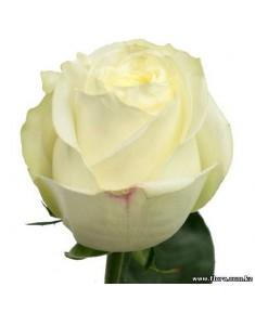 Роза Polar Star