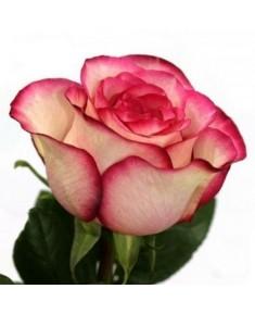 Роза Carousel