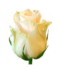 Роза Talia
