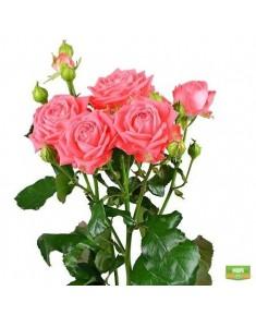Роза Barbados Кустовая