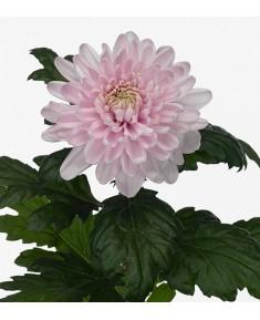 Хризантема Rossano