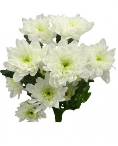 Хризантема Baltica