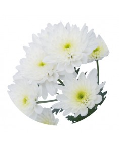 Хризантема Bonita