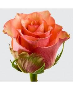 Роза Samba PATI