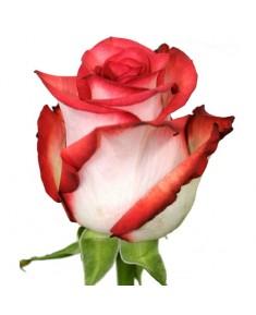 Роза Blush