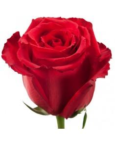 Роза Лотус