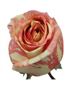 Роза Fiesta