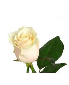 Роза Vendela