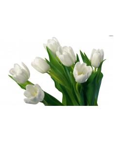 Тюльпан Краснодар, белый